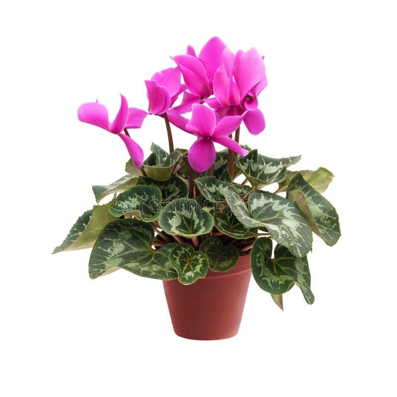Cíclame cor-de-rosa em um potenciômetro de flor isolado em um fundo branco fotos de stock royalty free