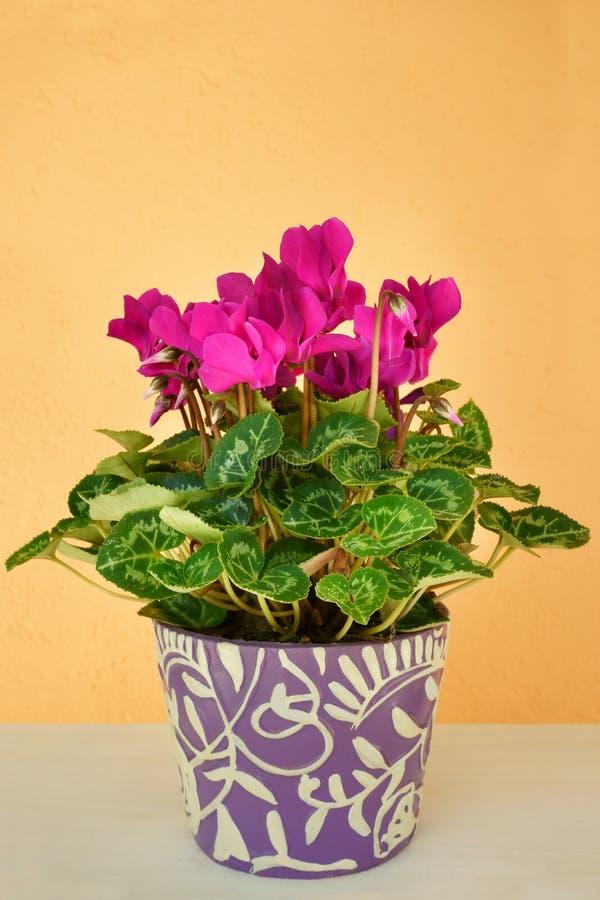 Cíclame cor-de-rosa no potenciômetro de flor em um fundo marrom arenoso foto de stock