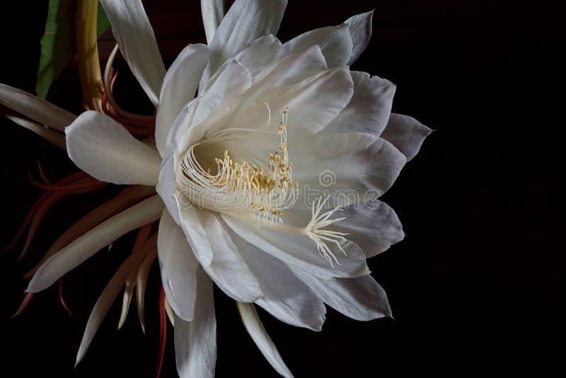 Círio de florescência de noite imagem de stock royalty free