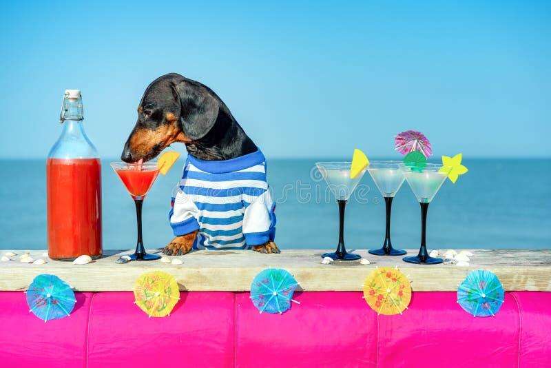 Cócteles de consumición del perro basset fresco divertido en la barra en un partido del club de la playa con vista al mar imagen de archivo