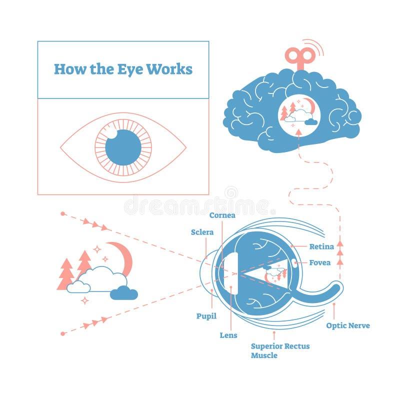 Cómo el ojo trabaja el ejemplo médico del cartel del esquema, elegante y mínimo del vector, ojo - diagrama etiquetado cerebro de  ilustración del vector