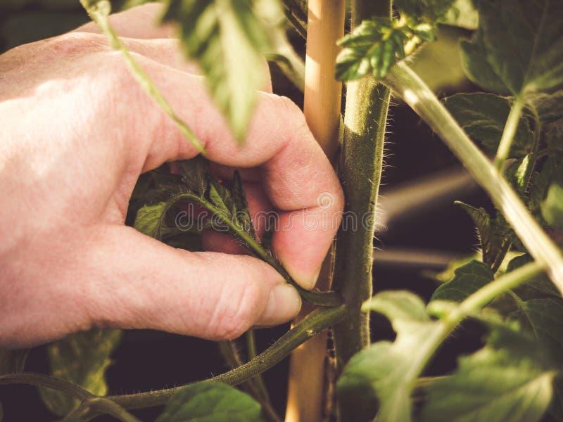 Cómo podar las plantas de tomate fotos de archivo libres de regalías
