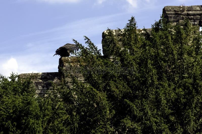 Cóndor andino/gryphus jovenes del Vultur fotografía de archivo