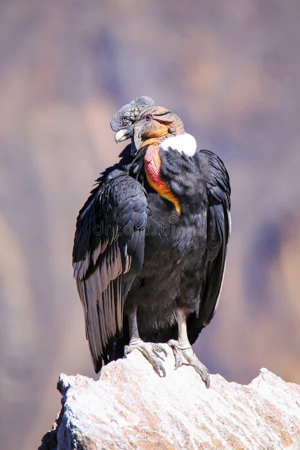 Cóndor andino que se sienta en Mirador Cruz del Condor en el barranco de Colca imagen de archivo libre de regalías