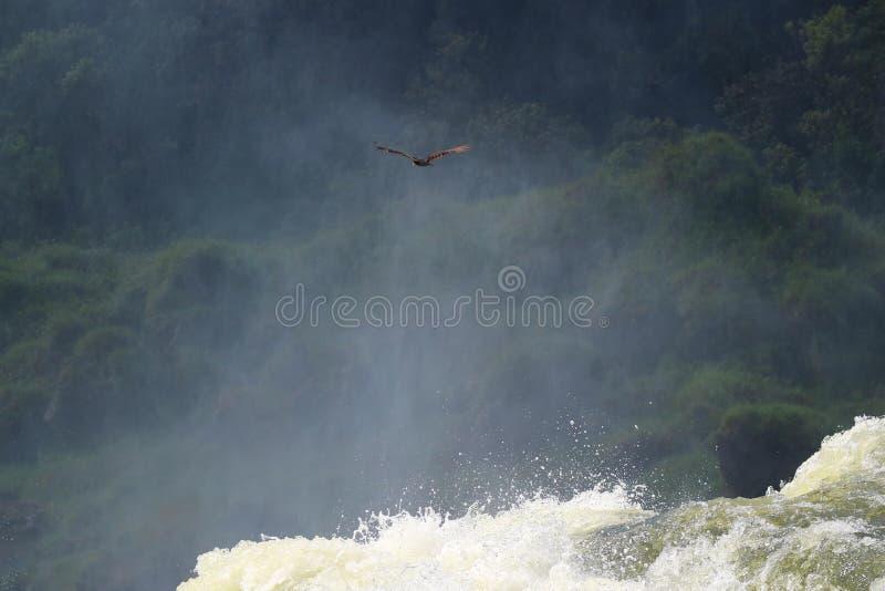 Cóndor andino que vuela sobre la cascada potente de Iguazu en la Argentina, Suramérica imagen de archivo libre de regalías