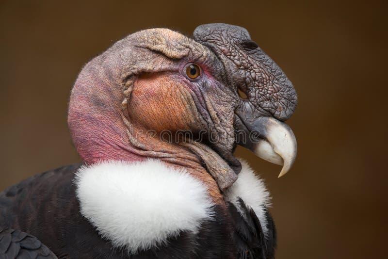 Cóndor andino y x28; Gryphus& x29 del Vultur; foto de archivo