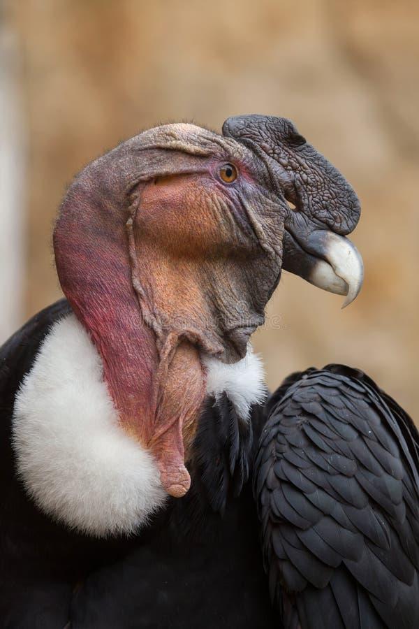 Cóndor andino y x28; Gryphus& x29 del Vultur; imagen de archivo libre de regalías