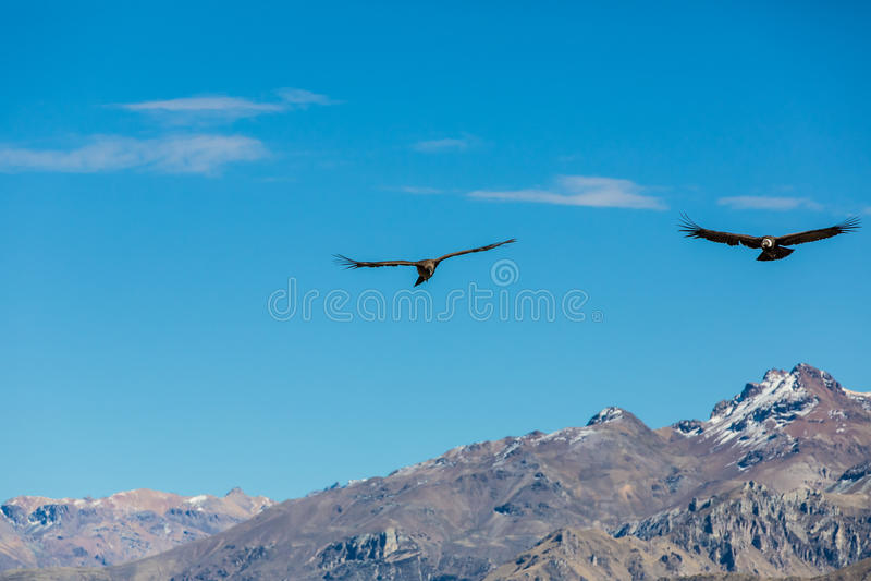 Cóndor del vuelo sobre el barranco de Colca, Perú, Suramérica. Éste es cóndor el pájaro de vuelo más grande en la tierra imágenes de archivo libres de regalías