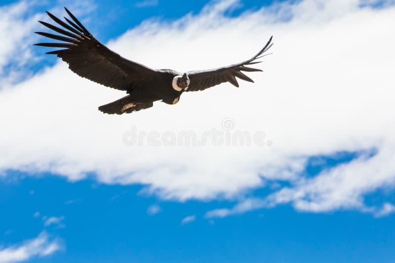 Cóndor del vuelo sobre el barranco de Colca, Perú, Suramérica. Éste es cóndor el pájaro de vuelo más grande en la tierra imagenes de archivo