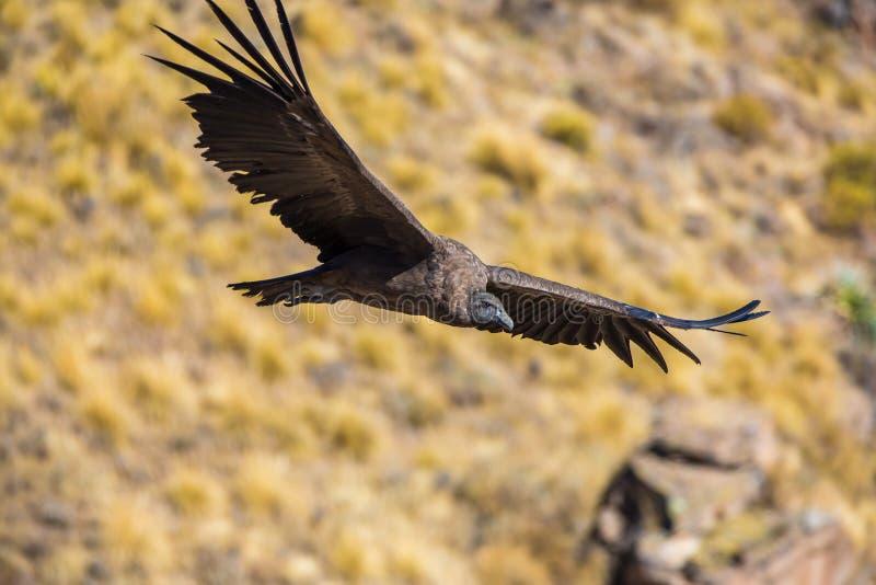 Cóndor del vuelo sobre el barranco de Colca, Perú, Suramérica. Éste es cóndor el pájaro de vuelo más grande en la tierra imagen de archivo libre de regalías