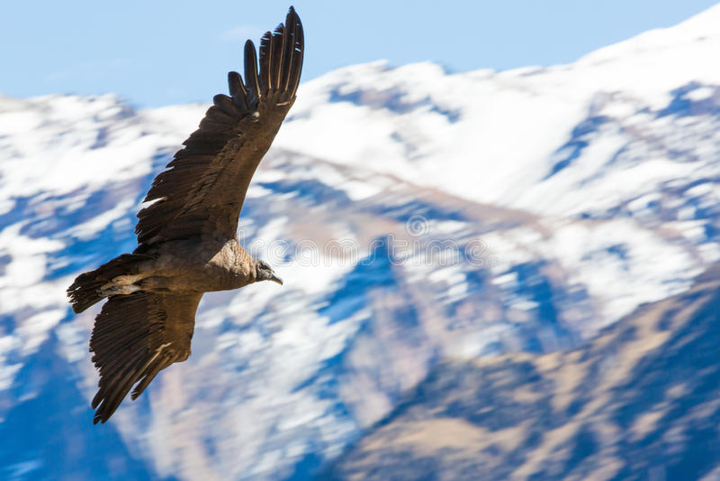 Cóndor del vuelo sobre el barranco de Colca, Perú, Suramérica imágenes de archivo libres de regalías