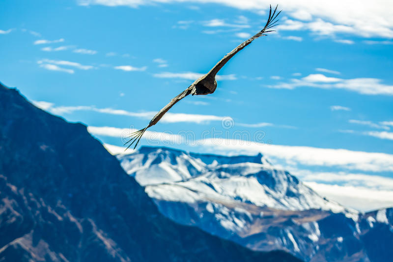 Cóndor del vuelo sobre el barranco de Colca, Perú, Suramérica. Este cóndor el pájaro de vuelo más grande fotografía de archivo libre de regalías