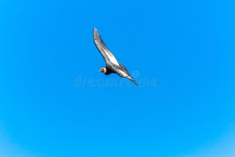 Cóndor del vuelo sobre el barranco de Colca, Perú, Suramérica. Este cóndor el pájaro de vuelo más grande imagen de archivo