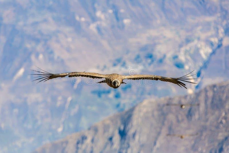 Cóndor del vuelo sobre el barranco de Colca, Perú, Suramérica. Este cóndor el pájaro de vuelo más grande imagenes de archivo