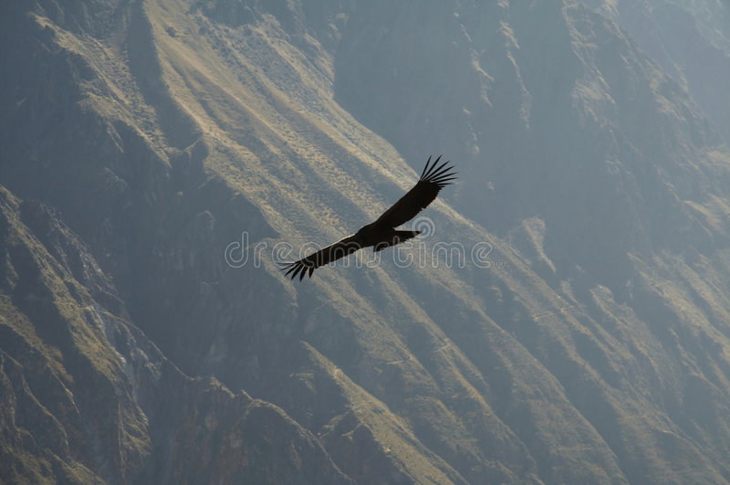 Cóndor en la barranca de Colca, Perú foto de archivo