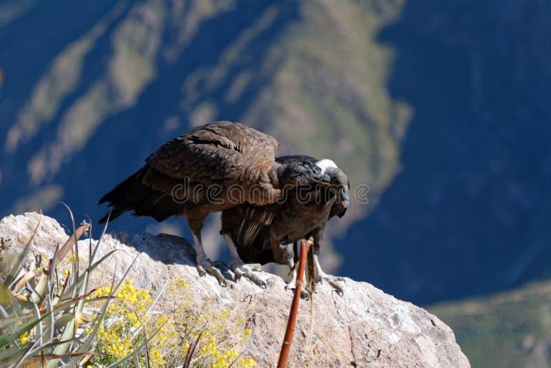 Cóndores en el barranco de Colca, Perú imagenes de archivo