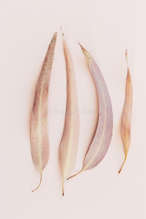 A cópia botânica, eucalipto deixa o close up no fundo de papel cor-de-rosa imagem de stock