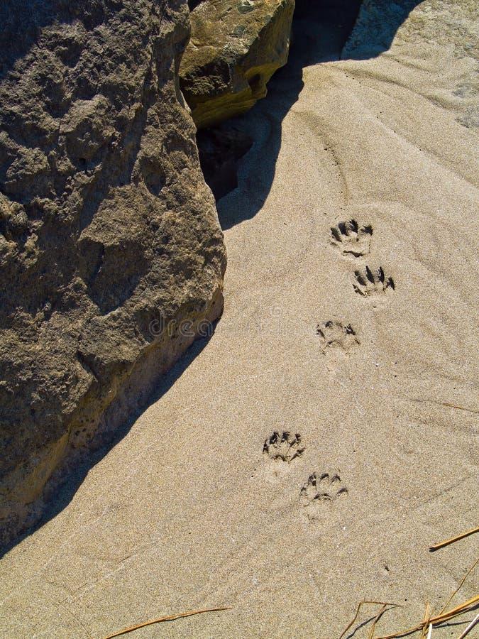 Cópias da pata na areia foto de stock