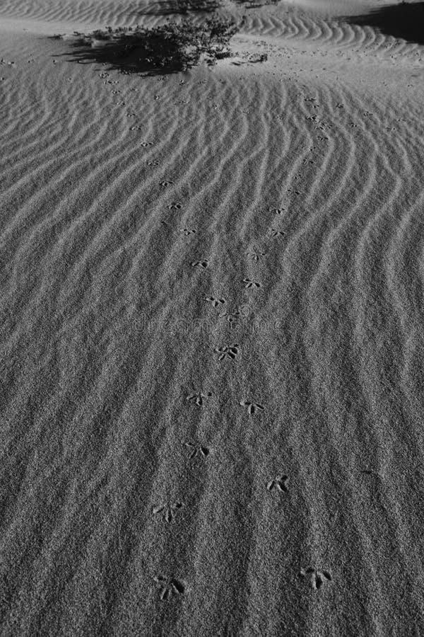 Cópias da textura e do pé da areia do pássaro imagem de stock