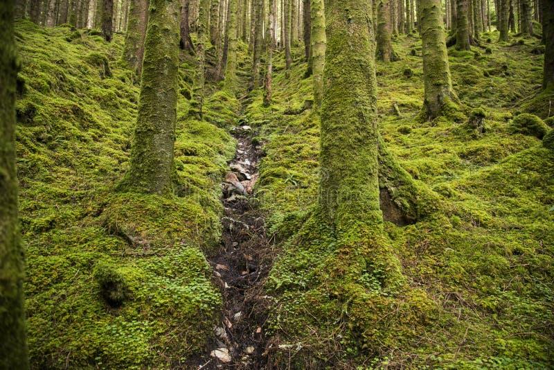 Córrego na floresta selvagem em Escócia foto de stock