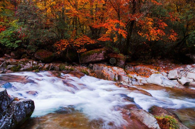 Córrego que acrossing a floresta dourada da queda fotos de stock royalty free