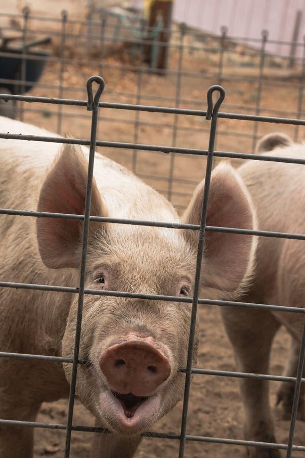 Cômico, engraçado, sorrir o tiro principal de sorriso de um porco cor-de-rosa orgânico peludo doméstico novo feliz que olha saudá imagens de stock royalty free