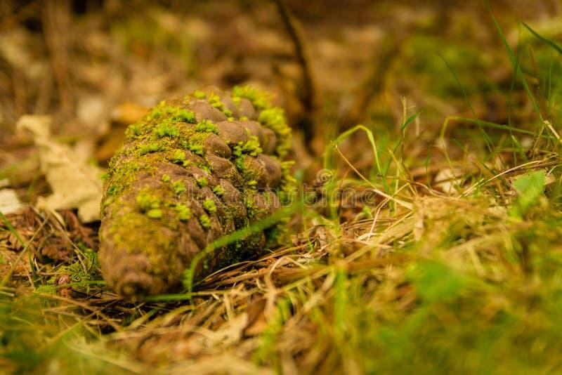 Cône de pin au sol avec de la mousse verte au-dessus de elle photographie stock libre de droits