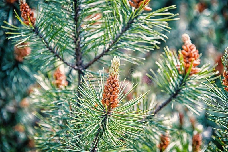 Cône de pin et aiguilles vertes sur l'arbre de sapin à Cracovie, Pologne Célébration de vacances de Noël et de nouvelle année Nat images libres de droits