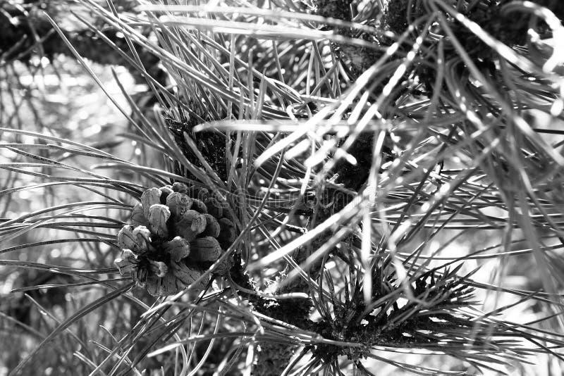 Cône de pin noir et blanc photos stock