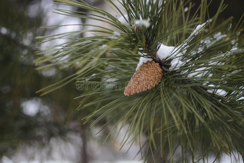 Cône de pin sur le pin à l'horaire d'hiver photo libre de droits