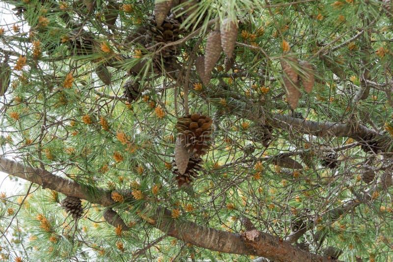 Cône de pin sur un pin photos libres de droits