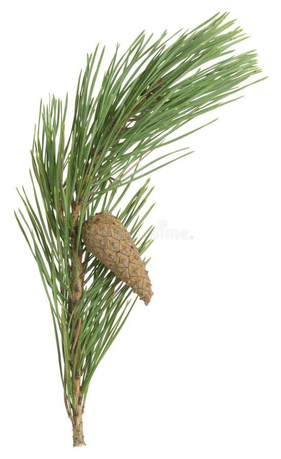 Cône et aiguilles secs de pin sur une brindille d'isolement sur le fond blanc image libre de droits