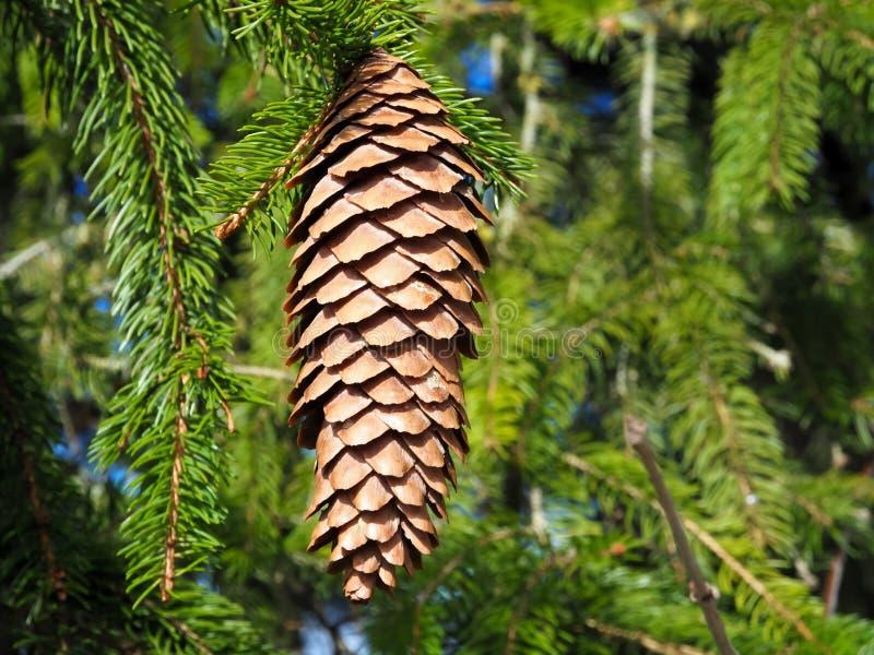 Cône simple de pin avec les arbres verts photographie stock