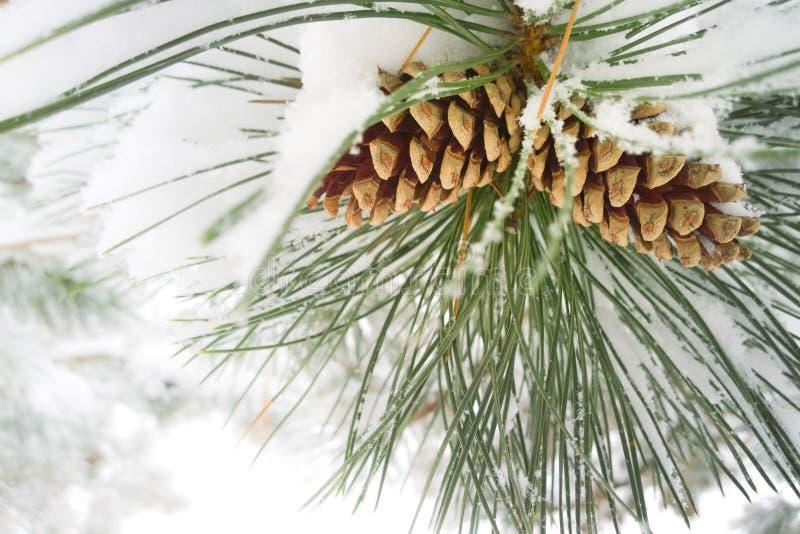 Cônes de pin d'hiver image libre de droits