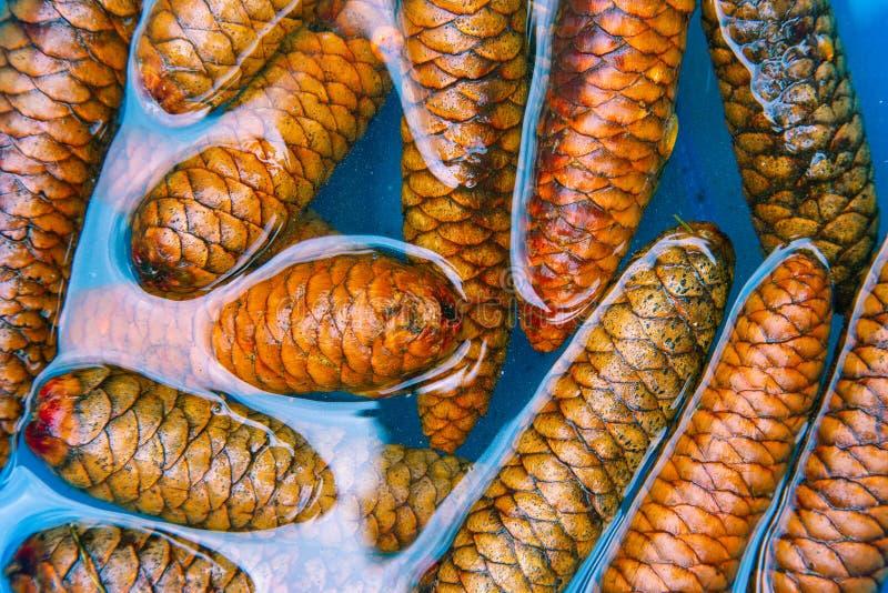 Cônes de pin imbibant dans l'eau bleue pour enlever des parasites pour des projets de métier images libres de droits