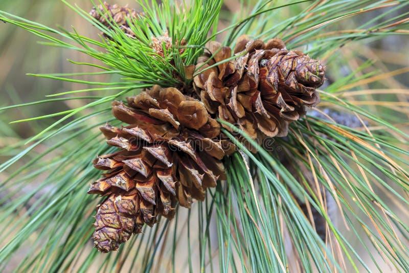 Cônes de pin sur un arbre photos stock