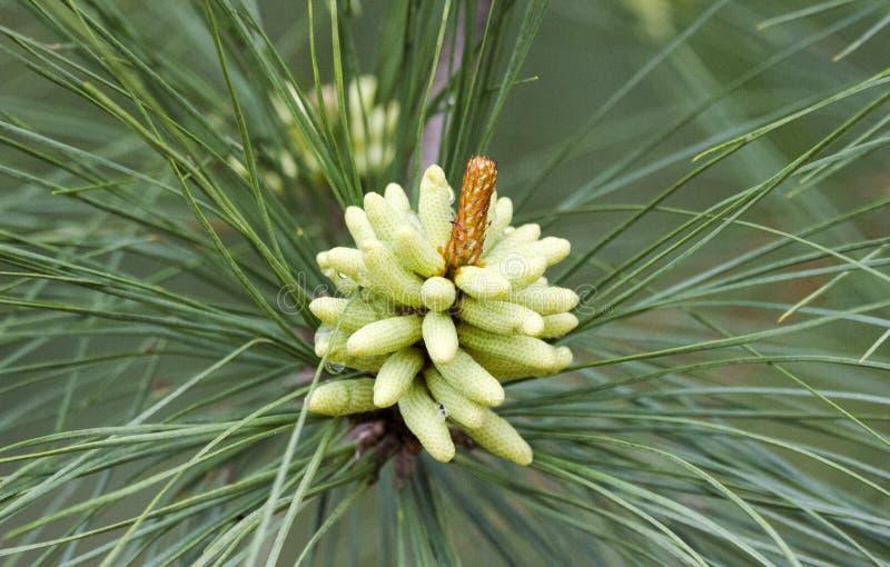 Cônes de pollen de pin de Loblolly de ressort en Géorgie, Etats-Unis photos stock