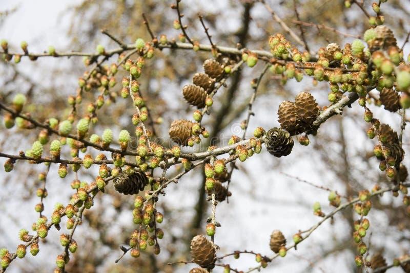 Cônes et bourgeons de pin. images libres de droits