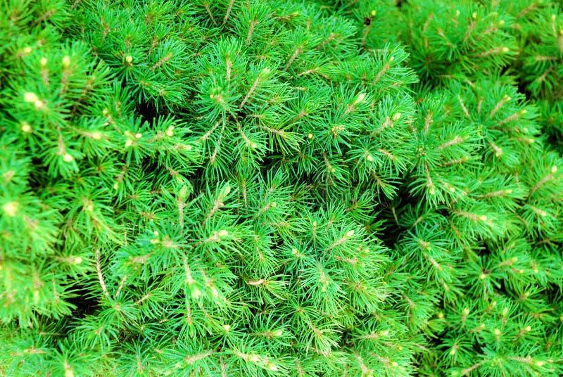 Cônes et pointeaux verts sur le pin-arbre image libre de droits