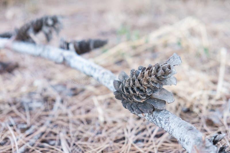 Cônes secs de pin sur la branche au sol photo stock