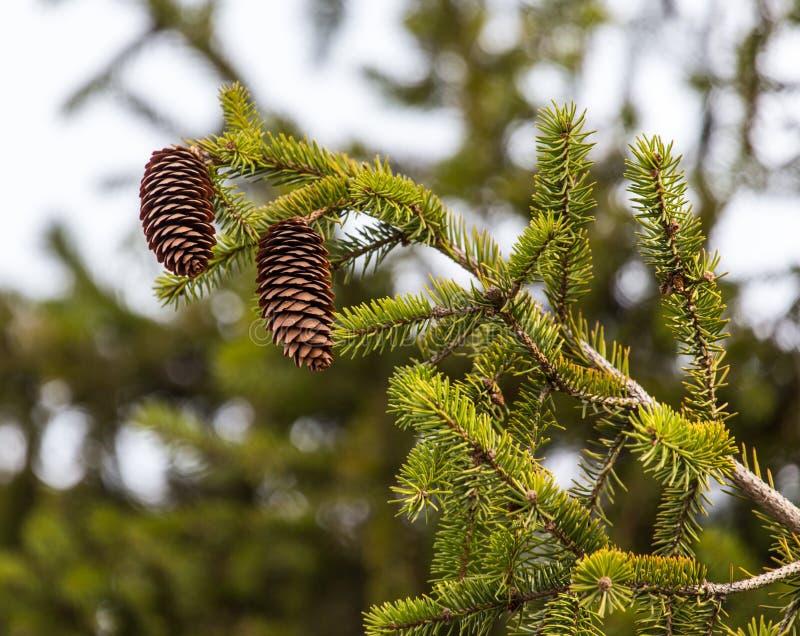 Cônes sur l'arbre en nature photographie stock libre de droits