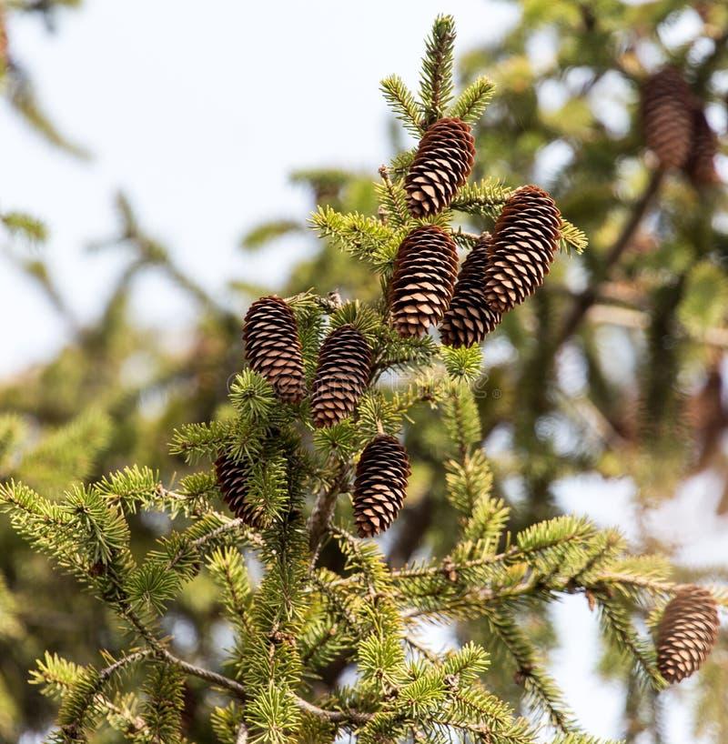 Cônes sur l'arbre en nature image stock