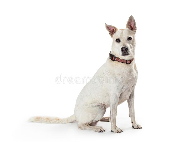 Côté blanc de Crossbreed Dog Sitting de berger images stock