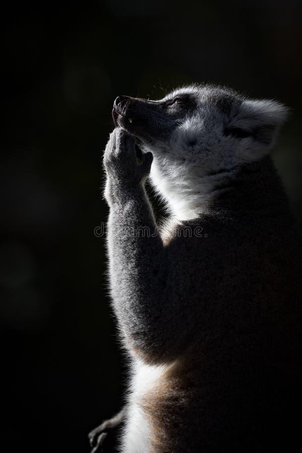 Côté de lémur sur penser avec l'espace foncé de fond et de copie images stock