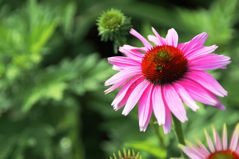 Côté droit magenta de fleur photo stock