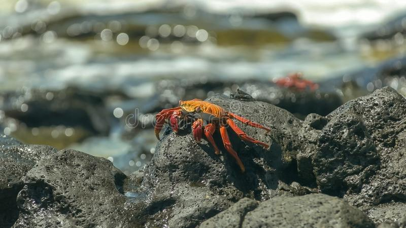 Côté sur la vue d'un crabe de lightfoot de sortie sur l'île de Santa Cruz dans Galapagos photographie stock libre de droits