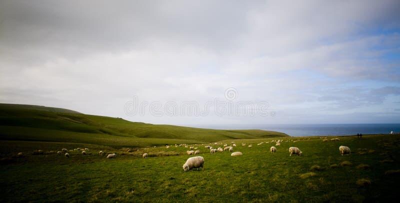 Côte de moutons photo libre de droits