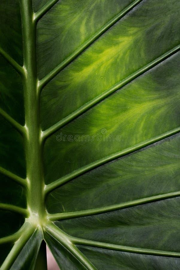 Côte et veines fortes dans une feuille tropicale photographie stock libre de droits