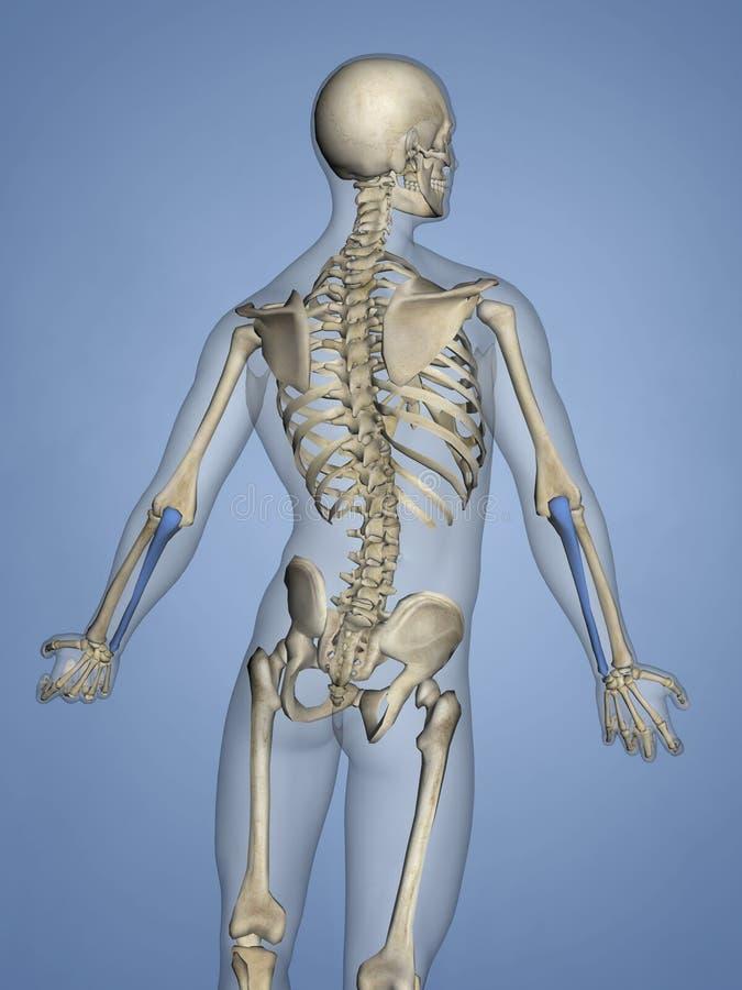 Cúbito, Esqueleto Humano, Modelo 3D Stock de ilustración ...
