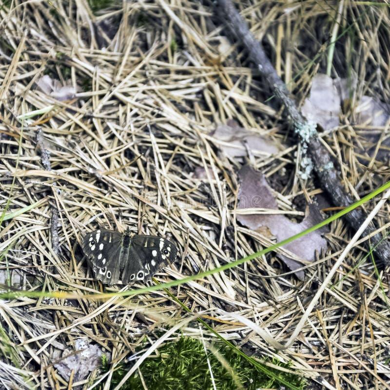 Cętkowani Drewniani motyli Pararge aegeria tircis obrazy stock